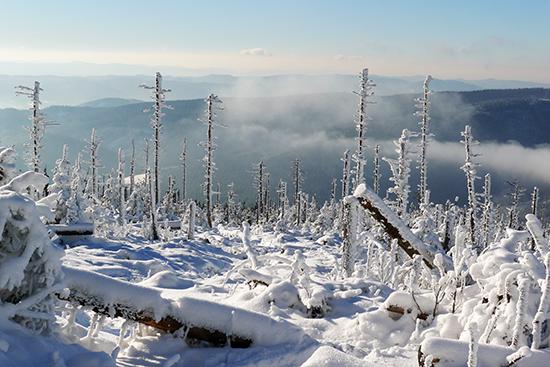 Imisní škody v lesích: imisemi poškozená horská smrčina