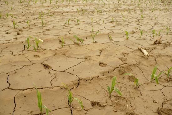 Klimatická změna: vodní eroze na kukuřičném poli